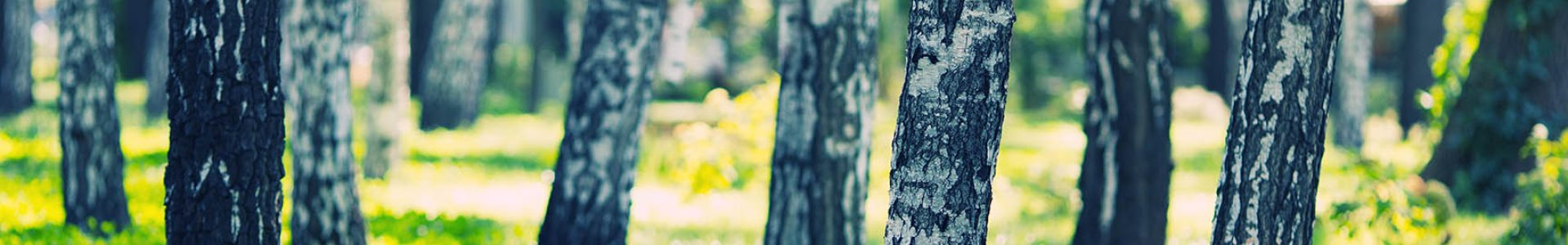 White birches forest at summer day